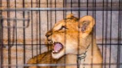 Un lionceau retrouvé dans un appartement en