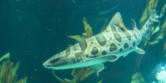 Un requin zèbre dans un aquarium.
