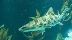 Après avoir été privée de son mâle pendant des années, cette femelle requin a fait des bébés toute