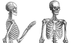 Explainer: How Do Our Bones Get Calcium And Why Do They Need