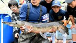 池の水抜いたら出てきた巨大肉食魚「アリゲーターガー」
