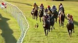 Kangaroo Joins Horse Race, Instantly Regrets