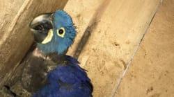 Nace un guacamayo azul en aviario de
