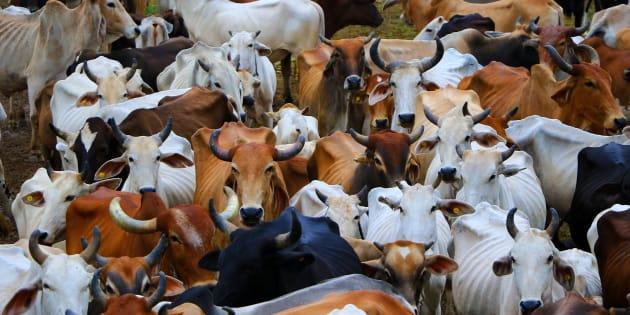 Cows at  Hingonia Cow Rehabilitation Centre run by Jaipur Municipal Corporation.