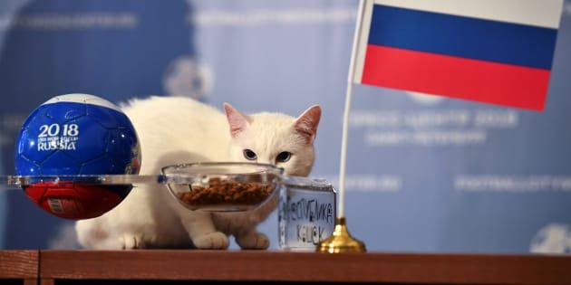 Achille le chat prévoit une victoire de la Russie pour le match d'ouverture du Mondial le 14 juin 2018.
