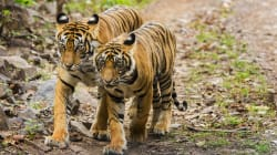 How We Turned Ranthambore Into A Tiger Conservation Success