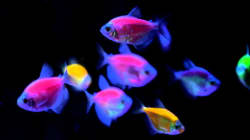 Are These Gene-Altered GloFish Lighting The Path To A Bright Human
