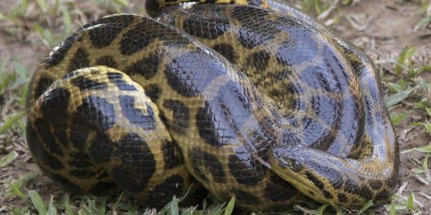 Un anaconda a été découvert par trois enfants dans une commune du Gard (Photo d'illustration).