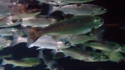 Le saumon sauvage menacé par des eaux souillées rejetées par des