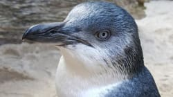 The Naughtiest Penguin In New Zealand Named And
