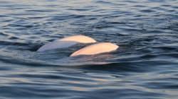 Le Canada protège un peu plus la baleine noire et le