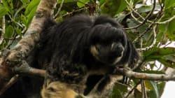 Raro mono con peinado tipo 'Beatles' reaparece después de 80