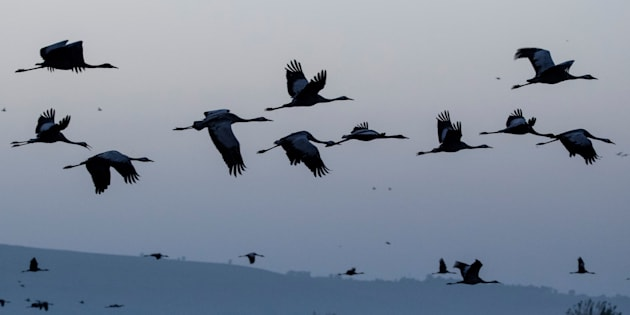 Gray cranes are seen flocking at the Agamon Hula Lake in northern Israel on Dec. 7, 2016.