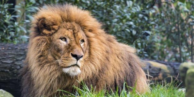 Des braconniers se font dévorer par des lions — Afrique du Sud