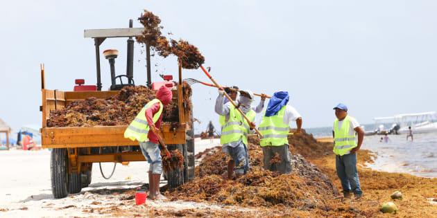 En los últimos 52 días Quintana Roo en Coordinación con los tres niveles de gobierno y sociedad ha recolectado 124 mil 725 metros cúbicos en 41 playas de 7 municipios.