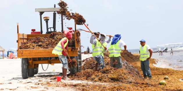En los últimos 52 días Quintana Roo, en Coordinación con los tres niveles de gobierno y sociedad ha recolectado 124 mil 725 metros cúbicos de sargazo en 41 playas de siete municipios.