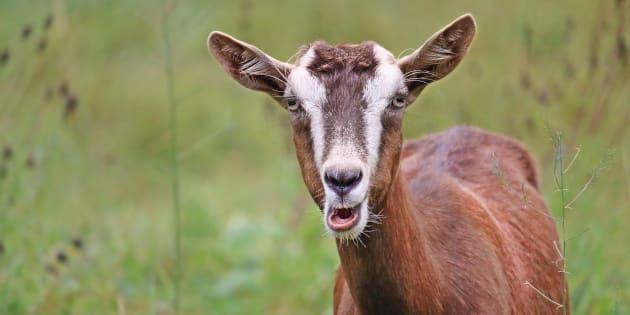 Les chèvres préfèrent les visages heureux