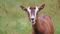 Les chèvres préfèrent les gens heureux et les visages