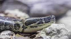 A Snake That Looks After Its Kids? Wits Has Just Discovered