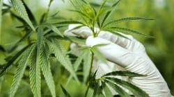 L'ANSM veut une expérimentation du cannabis thérapeutique avant fin