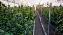 Les Premières Nations sautent sur l'opportunité économique offerte par la légalisation du