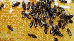 Interdiction des pesticides tueurs d'abeilles: La victoire posthume de Hulot contre les