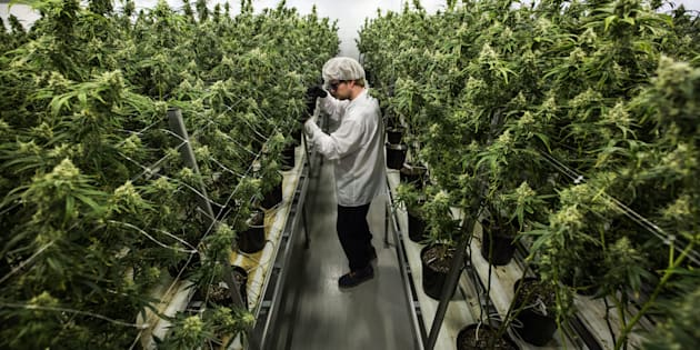 An employee looks at flowering medical marijuana plants at Canopy Growth's operation in Smiths Falls, Ont., Dec. 5, 2016. Alcohol giant Constellation Brands has bought a 9.9-per-cent stake in Canopy Growth.