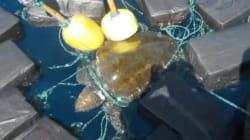 Trovata una tartaruga marina rimasta impigliata in 26 pacchetti di