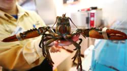 Les 30.000 demandes adressées par Peta n'ont pas suffi à convaincre Monoprix d'arrêter la vente de homards