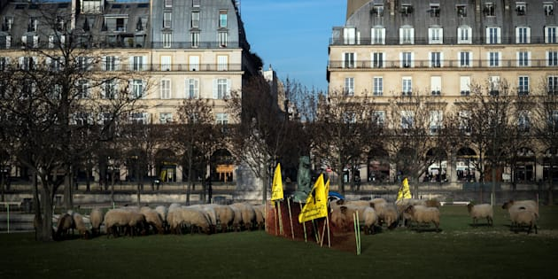 Des brebis au jardin des Tuileries à Paris le 14 décembre 2016.