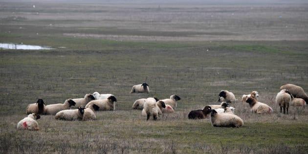 Les moutons réfractaires du village de Stoenesti.