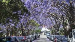 Bloomin' Nightmare As Selfie-Taking Tourists Overrun Jacaranda