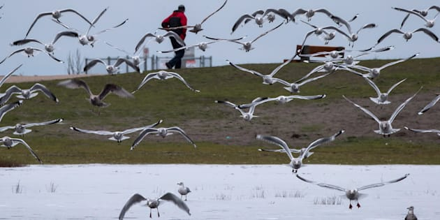 Seagulls fly above a partially frozen marsh as a man walks along a pathway at Gary Point Park in Richmond, B.C., on Dec. 25, 2017.