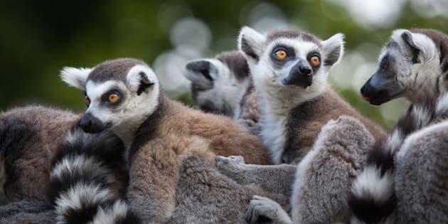 Lemures.