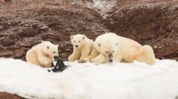 プラスチックを噛むホッキョクグマが撮影される。海洋汚染が北極圏にも?