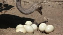 On sait enfin pourquoi les œufs d'oiseaux ont telle ou telle