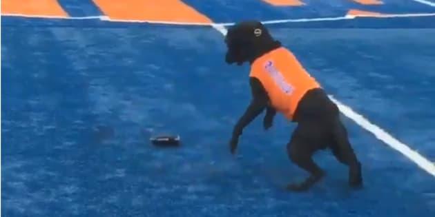 """Les Boise State Broncos utilisent un chien ramasseur de """"tee""""."""