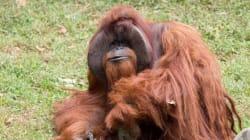 È morto Chantek, l'orango che parlava la lingua dei segni, puliva la sua stanza e usciva di casa (da