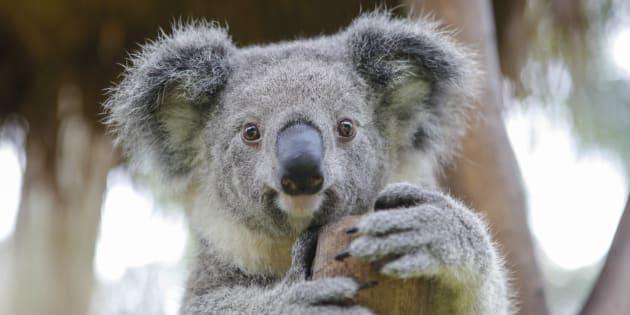 Au 18ème siècle, les koalas étaient plus nombreux. Il y en avait plus de 10 millions en Australie.