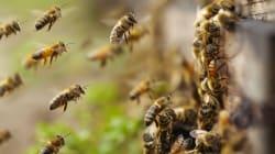 Les abeilles menacées par un virus qui leur déforme
