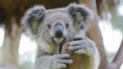 Le génome du koala a été séquencé et c'est une bonne nouvelle pour sa