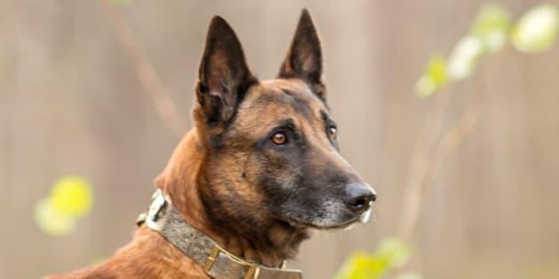 Les deux chiens renifleurs de cancer ont passé avec succès le premier test. Une prochaine étude clinique va être réalisée d'ici 2021.