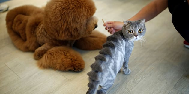 "A cat with a ""stegosaurus spine""€ design cut into its fur"