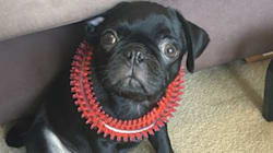 'Egg' The Fatal Pug's Owner Pleads Guilty To Lying About His Dog's