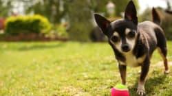 Las virales fotos de un perro trabajando junto a su dueña con su propio