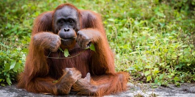 Consommer durable n'est pas qu'une tendance, ça peut aussi sauver des orangs-outans.