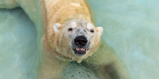 Inuka, l'ours polaire qui vit au zoo de Singapour.