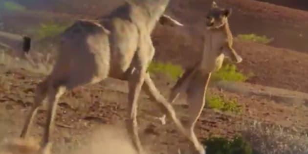 """Un lion s'attaque à une girafe dans le documentaire """"Planète animale"""" diffusé sur France 2 le 14 février 2017"""