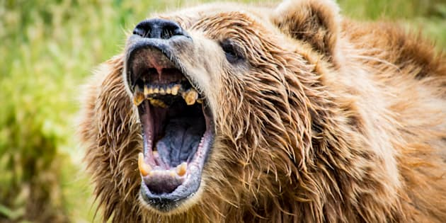 File photo of a grizzly bear roaring.
