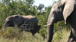 Les éléphants de différentes espèces ne s'accouplent plus entre
